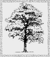 Etching of Black Walnut Tree.